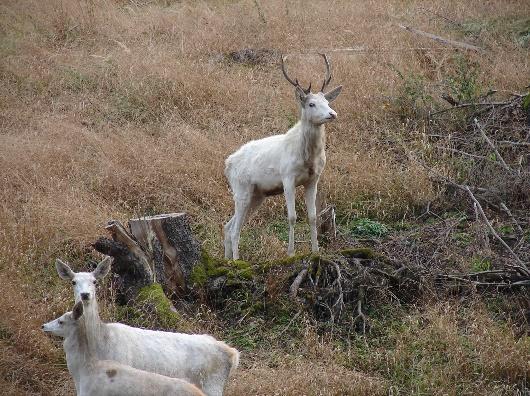 Bílý jeleni v Janovické oboře